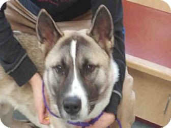 Akita Dog for adoption in Missoula, Montana - BRUCE
