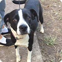 Labrador Retriever/Boxer Mix Dog for adoption in Mesa, Arizona - FADORA