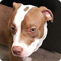 Adopt A Pet :: Mercurius - Fort Smith, AR