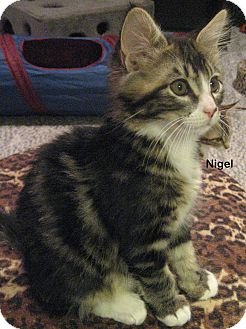 Domestic Mediumhair Kitten for adoption in Portland, Oregon - Nigel
