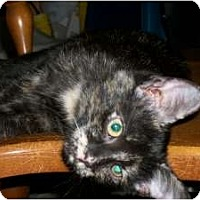 Domestic Shorthair Cat for adoption in Henderson, Kentucky - Reba