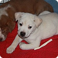 Adopt A Pet :: Crush - Marietta, GA