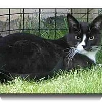 Adopt A Pet :: Niko - Howell, MI