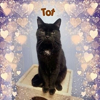 Domestic Shorthair Cat for adoption in New Richmond,, Wisconsin - Tot