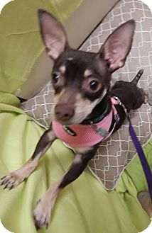 Chihuahua/Terrier (Unknown Type, Medium) Mix Dog for adoption in Columbia, Tennessee - Timmons/NC