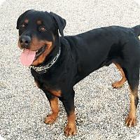 Adopt A Pet :: Baron - Gilbert, AZ