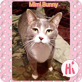 Domestic Shorthair Cat for adoption in Ravenna, Texas - Mimi Bunny