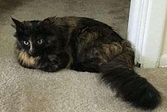 Maine Coon Cat for adoption in Pittsburgh, Pennsylvania - Millie