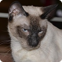 Adopt A Pet :: Clea - Glendale, AZ