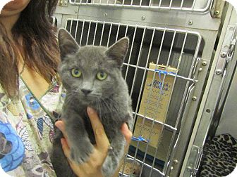 Domestic Shorthair Cat for adoption in Grand Junction, Colorado - Amethyst