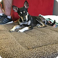 Basenji Puppy for adoption in Agoura Hills, California - 'PEARLY'