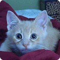 Adopt A Pet :: Heathcliff - Fenton, MO