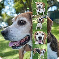 Adopt A Pet :: Bonkers - Clearwater, FL