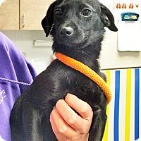 Adopt A Pet :: Debs - Ottawa, KS