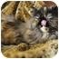 Photo 4 - Persian Cat for adoption in Columbus, Ohio - Lexus