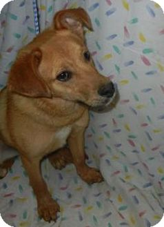 Golden Retriever Mix Puppy for adoption in Antioch, Illinois - Robert Dawgie, Jr.