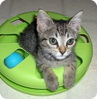 Domestic Shorthair Kitten for adoption in Richmond, Virginia - Davis