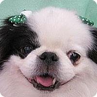 Adopt A Pet :: Diamond - Aurora, CO