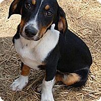 Adopt A Pet :: Louey Pup - Brattleboro, VT