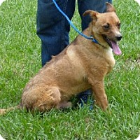 Black Mouth Cur/Labrador Retriever Mix Dog for adoption in Slidell, Louisiana - Bobo