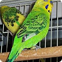 Adopt A Pet :: Ricky - Shawnee Mission, KS