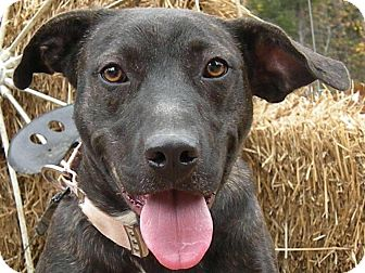 Boston Terrier/Labrador Retriever Mix Dog for adoption in Harrisburg, Pennsylvania - Mattea been waiting 3 years
