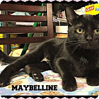 Domestic Shorthair Cat for adoption in Fenton, Missouri - Maybelline