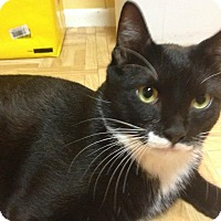 Domestic Shorthair Cat for adoption in Long Beach, New York - Vinnie