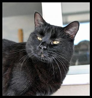 Domestic Shorthair Cat for adoption in Alamogordo, New Mexico - STARDUST