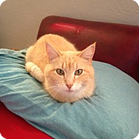 Adopt A Pet :: Mr. Kitty - St. Louis, MO