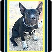 Adopt A Pet :: Bodhi - Rancho Cucamonga, CA