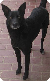 German Shepherd Dog/Border Collie Mix Dog for adoption in Columbus, Nebraska - Logan