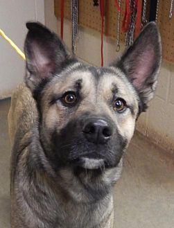 German Shepherd Dog Mix Dog for adoption in Amarillo, Texas - Bella