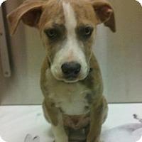 Adopt A Pet :: Ruckus - Irmo, SC