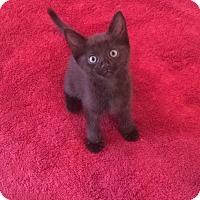 Adopt A Pet :: .Mr. Mormo of Meowington - Baltimore, MD