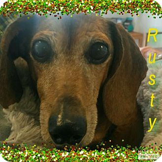 Dachshund Dog for adoption in Weston, Florida - Rusty