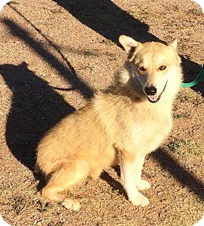Husky Mix Dog for adoption in Post, Texas - Cinnamon