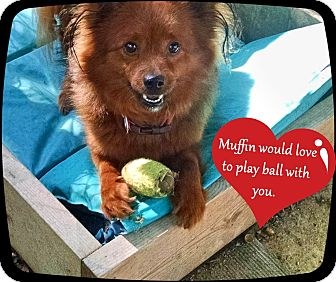 Pomeranian/Terrier (Unknown Type, Small) Mix Dog for adoption in Franklinton, North Carolina - Muffin