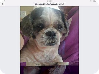Shih Tzu Dog for adoption in LEXINGTON, Kentucky - Bentley Beam
