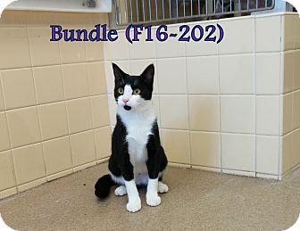 American Shorthair Cat for adoption in Tiffin, Ohio - Bundle