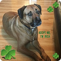 Adopt A Pet :: Jaycey - Frederick, MD