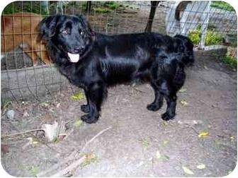 Barnaby   Adopted Dog   Winnsboro, SC   Boykin Spaniel ...  Barnaby   Adopt...