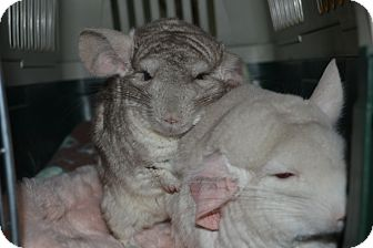 Chinchilla for adoption in Patchogue, New York - Bob