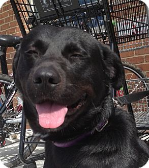 Labrador Retriever Mix Dog for adoption in Richmond, Virginia - Abbott