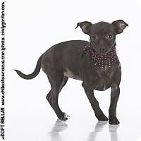 Adopt A Pet :: Bella - Dallas, TX