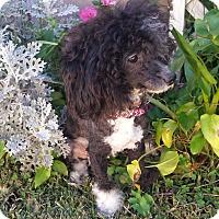 Adopt A Pet :: Ruffles - San Dimas, CA
