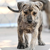 Adopt A Pet :: Elway - Mission Viejo, CA