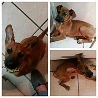 Adopt A Pet :: Bruno - Gainesville, FL