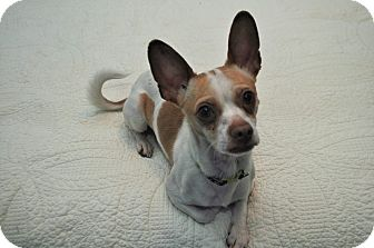 Chihuahua Dog for adoption in norridge, Illinois - Scratchy