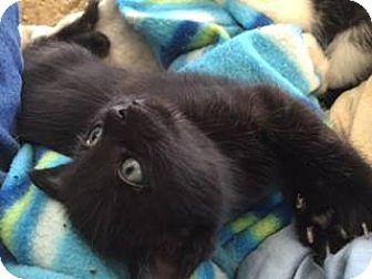 Domestic Shorthair Kitten for adoption in Burlington, North Carolina - PRINCE